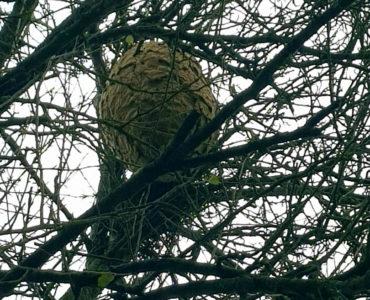 Meruelo sigue luchando contra la avispa asiática